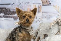 Yorkshire terrier sitting in winter scene, portrait. Yorkshire terrier sitting in winter scene Stock Image