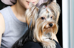 Yorkshire terrier sitting on womas is lap Royalty Free Stock Photo