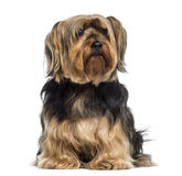 Yorkshire Terrier sitting (6 years old) Stock Photography
