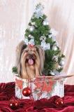 Yorkshire-Terrier sitzt in einem anwesenden Kasten Lizenzfreie Stockfotografie