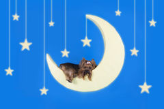 Yorkshire terrier sleeping on the moon Royalty Free Stock Photos