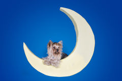 Yorkshire terrier sleeping on the moon Stock Images