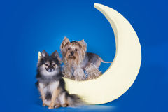 Yorkshire terrier sleeping on the moon Stock Photography
