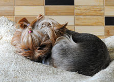 Yorkshire terrier sleeping Royalty Free Stock Photography