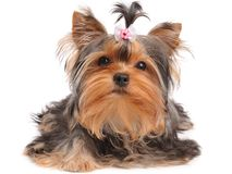 Yorkshire Terrier with small bow Stock Photography