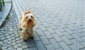 Yorkshire Terrier. Is small dog breed of terrier type, developed in 19th century in county of Yorkshire, England, to catch rats in clothing mills, also used for stock photos