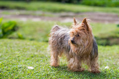 Yorkshire Terrier Dog. Small Yorkshire Terrier dog on a green field Royalty Free Stock Photography