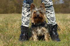 Yorkshire-Terrier Stock Image