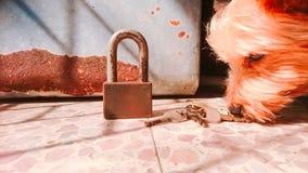Yorkshire Terrier smelling keys on the floor stock image