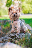 Yorkshire Terrier smiling at camera Royalty Free Stock Image