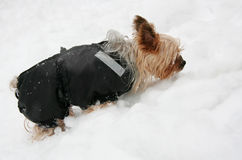 Yorkshire terrier in the snow stock photos