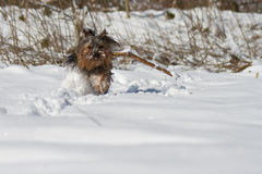 Yorkshire Terrier in Snow Stock Images