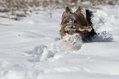 Yorkshire Terrier has fun Stock Photography