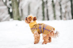 Yorkshire terrier in the snow wearin stock images
