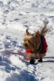 Yorkshire terrier in the snow Royalty Free Stock Photo
