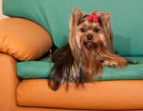 Yorkshire terrier on the sofa Stock Photography