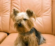 Yorkshire Terrier on sofa. Yorkshire Terrier sitting on leather sofa Royalty Free Stock Photos
