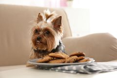 Yorkshire terrier on sofa near plate with cookies, space for text. Happy dog stock photography
