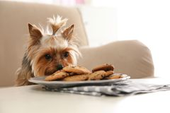 Yorkshire terrier on sofa near plate with cookies indoors, space for text. royalty free stock images