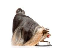 Yorkshire Terrier som äter mat från maträtt Isolerat på vit backg Arkivbild