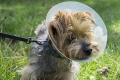 Yorkshire Terrier som bär en medicinsk kotte Arkivbild