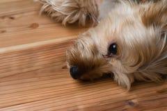 Yorkshire Terrier som lägger på det Wood golvet Royaltyfria Bilder