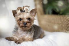 Yorkshire terrier som lägger på en vit stol royaltyfri fotografi