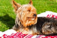 Yorkshire terrier som ligger på en filt royaltyfri foto