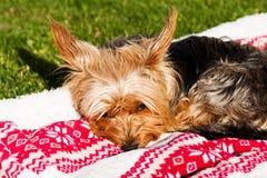 Yorkshire terrier som ligger på en filt arkivfoton