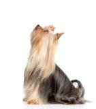 Yorkshire Terrier som sitter och ser upp Isolerat på vitbaksida Royaltyfri Fotografi