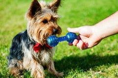 Yorkshire terrier som väntar på ett leksakben royaltyfria bilder