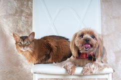 Yorkshire terrier and somali cat portrait. Yorkshire terrier and somali cat sitting on white chair at studio Royalty Free Stock Image