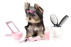 Yorkshire terrier with spa accessories Stock Image