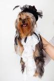 Yorkshire Terrier stående med hatten Royaltyfri Foto