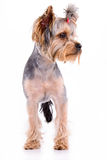 Yorkshire terrier stand Royalty Free Stock Images