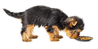 Yorkshire terrier standing and eating Royalty Free Stock Photo