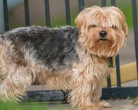 Yorkshire terrier standing in front of a backyard pet gate stock photography