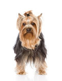 Yorkshire Terrier standing in front. isolated on white backgroun Royalty Free Stock Photography