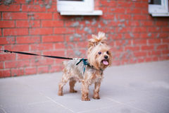 Yorkshire Terrier standing near brick wall. Selective focus stock photos
