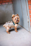 Yorkshire Terrier standing near front door. Selective focus Stock Photography