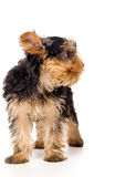 Yorkshire terrier stands Stock Images