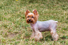 Yorkshire Terrier stands. stock photography
