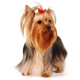 Yorkshire terrier stands isolated on white stock photo