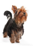 Yorkshire Terrier stands on white Royalty Free Stock Photography