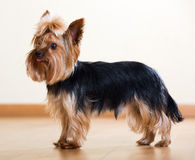 Yorkshire Terrier staying on  floor Royalty Free Stock Photography