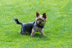 Yorkshire terrier  staying on the green field. Yorkshire terrier  staying on the  field Royalty Free Stock Image