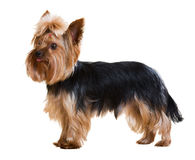 Yorkshire Terrier staying on white Stock Photo