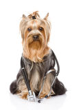 Yorkshire Terrier with a stethoscope on his neck. isolated on wh Stock Image