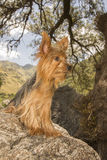 Yorkshire Terrier on a Stone. Male Yorkshire Terrier dog, one year old, sit on a stone Stock Photography