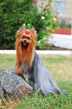 Yorkshire terrier on the stone portrait Royalty Free Stock Photography
